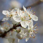 Bach-Blüte-Cherry-Plum-am-Birkenhof